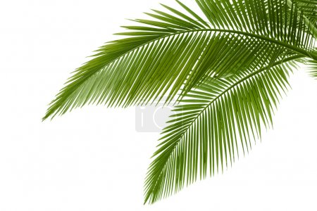 Photo for Palm leaves isolated on white - Royalty Free Image