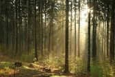 Misty coniferous forest at dawn