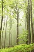 Spring beech forest in the fog