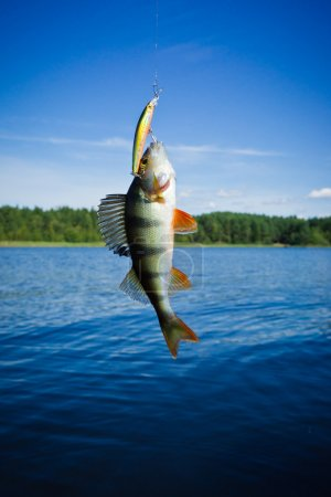Perch caught on the hook