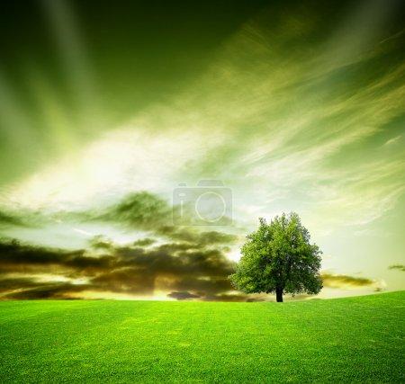Oak tree in a field at sunset
