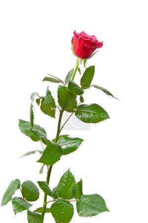 Photo pour Belle rose rouge, photo sur le fond blanc - image libre de droit