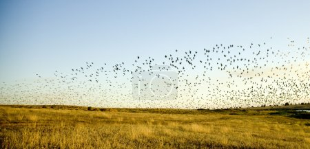 Birds over field at sunset.