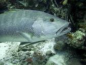 Mořská okoun pod vodou