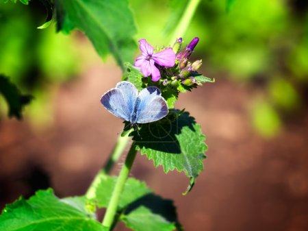 Photo pour Petit papillon bleu recueille le nectar sous le soleil du printemps . - image libre de droit
