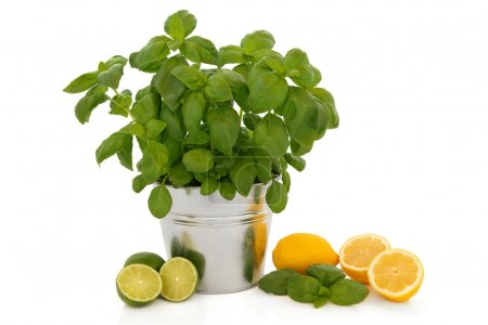 Photo for Basil herb plant growing in an aluminum pot with leaf sprig and lemon and lime fruit isolated over white background. - Royalty Free Image