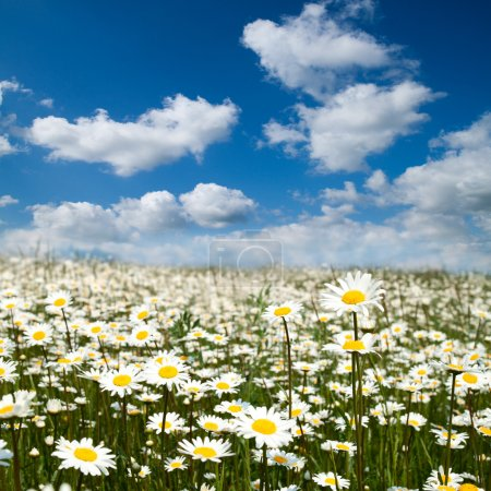 Photo for Flower summer field with blue sky. - Royalty Free Image