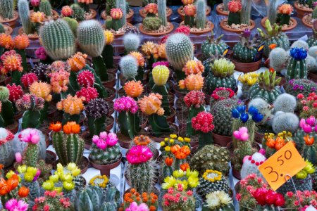 Photo for A group of colored cactus in holland - Royalty Free Image