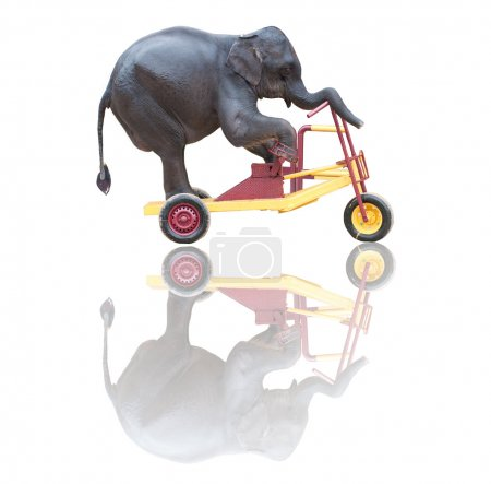 Elephant riding a bicycle isolated on white