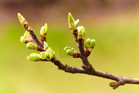 Cherry flowers and buds, macro
