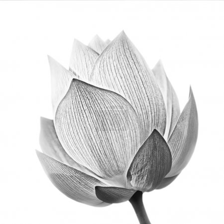 Photo for Lotus flower in black and white isolated on white background. - Royalty Free Image