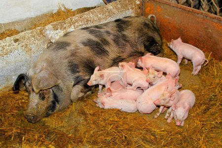 Photo for Dozen pink piglets sucking big sow in pen - Royalty Free Image