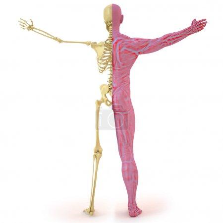 Photo pour Structure anatomique de l'homme de corps. OS et Chair musculaire. isolé sur blanc. - image libre de droit