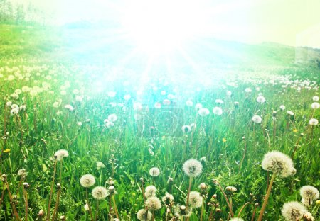 Photo for Blowballs on grassland - Royalty Free Image