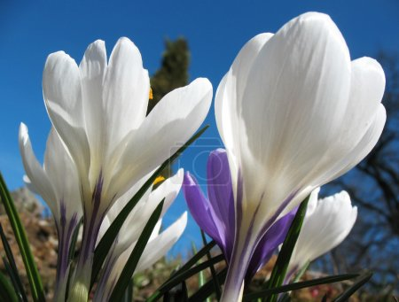 Blooming white crocus. A sunny day in early spring