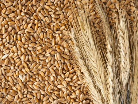 Photo for Close-up view of wheat ears with seeds - Royalty Free Image