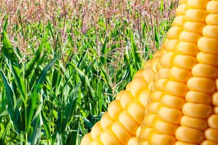 Campo de maíz maduro