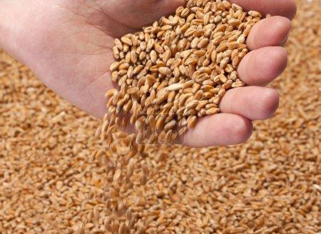 Photo pour Graines de blé mûr tombant de la main des agriculteurs - image libre de droit