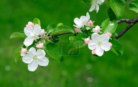 Apple tree blossoming over green background