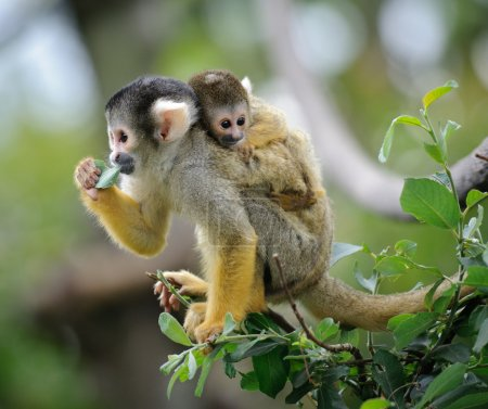 Squirrel monkey with its baby
