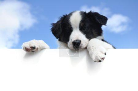 Australian Shepherd (Aussie) Puppy Above a Blank Sign
