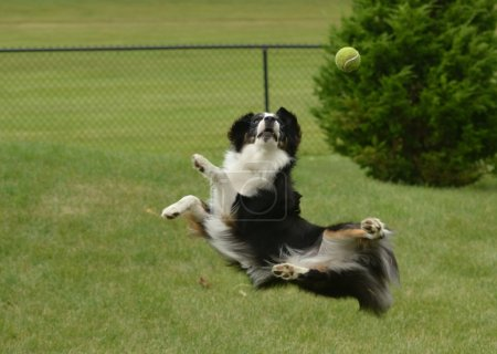 Australian Shepherd (Aussie) Dog Catching a Ball