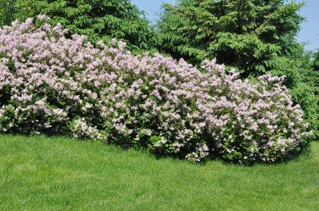 Photo pour Backyard aménagement paysager avec arbres et Lilas roses - image libre de droit