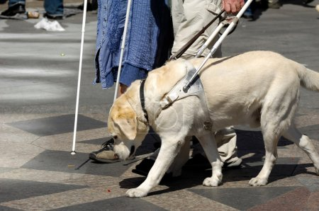 Photo for Guide dog is helping bilnd - Royalty Free Image