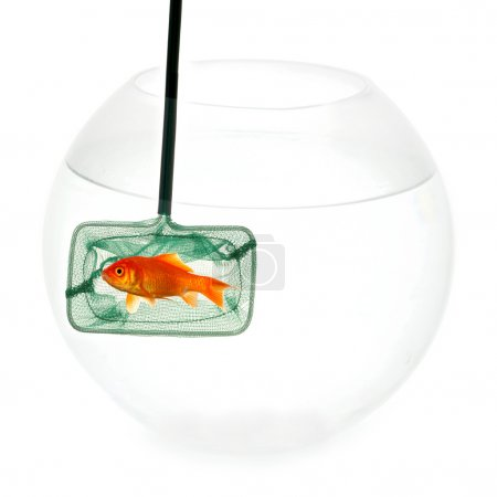 Goldfish in fishingnet