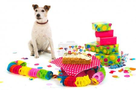 Photo pour Le petit Jack Russel fête un anniversaire coloré - image libre de droit