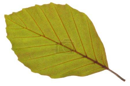 Photo pour Feuille de hêtre isolée sur blanc - image libre de droit