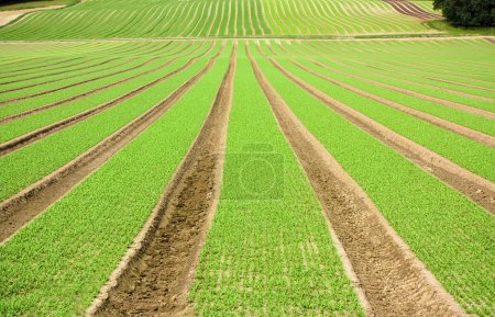 Photo for Farmland furrows with new planting in perspective - Royalty Free Image