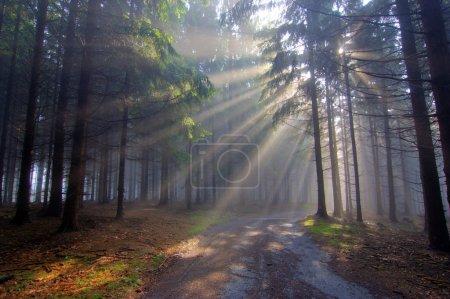 Photo pour Image de la forêt de conifères tôt le matin brouillard tôt le matin - image libre de droit