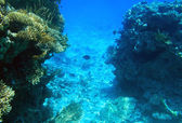 Coral reef of Red Sea