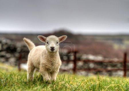 Photo pour Mouton de bébé irlandais sur l'alpage - image libre de droit