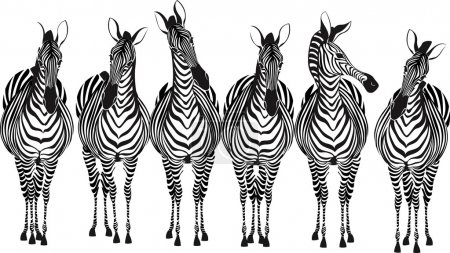 Illustration for Group of zebras standing in a row isolated on white background - Royalty Free Image