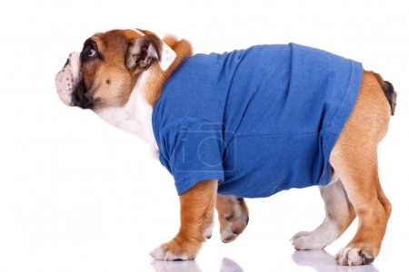 English bulldog standing and wearing nice clothes