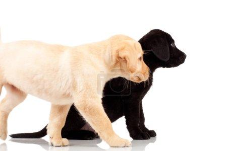 Photo pour Deux chiots labrador mignons - tous deux très curieux, regardant quelque chose de leur côté - image libre de droit