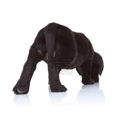 Black labrador retriever puppy sniffing