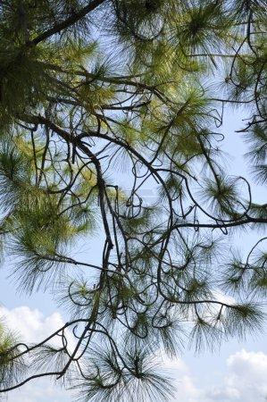 Photo pour Une vue abstraite des branches sur un arbre sempervirent . - image libre de droit