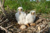 Falco Vespertinus auf die Nester