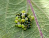 Green Shield Bugs hatching
