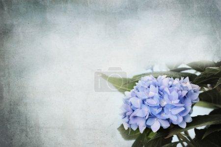 Foto de Fondo Hortensia flores y cuarto para el espacio de la copia. - Imagen libre de derechos