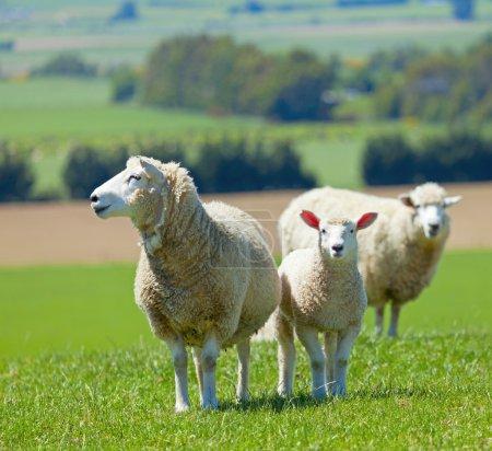 Photo pour Image de moutons broutant dans les champs de la Nouvelle-Zélande - image libre de droit