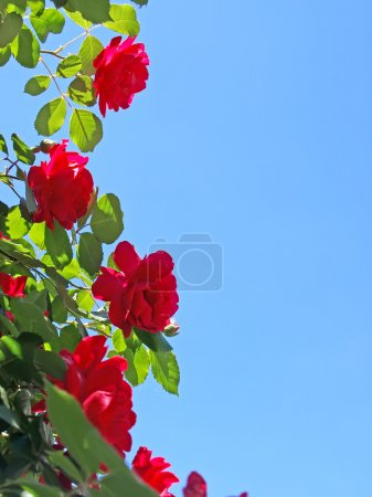Red roses on blue sky background 2