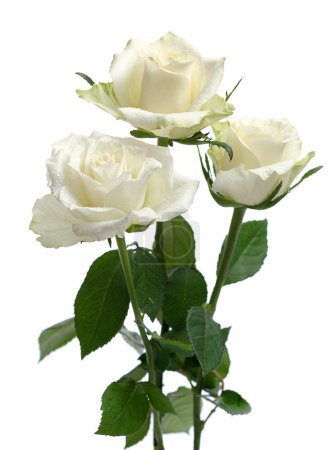 Bunch of white roses isolated on white background...