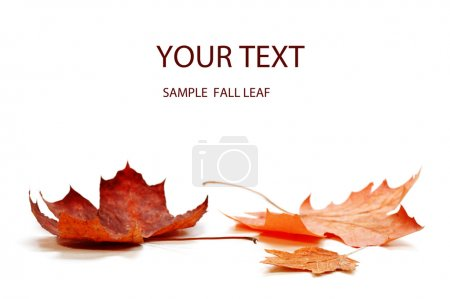 Photo for Autumn maple leaf isolated on white background - Royalty Free Image