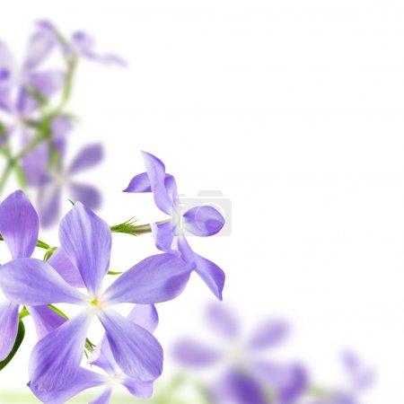 Photo pour Fleurs sauvages en fleurs bleu isolé sur blanc - image libre de droit