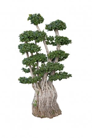 Photo for Old ficus ginseng microcarpa bonsai dwarf tree miniature ancient plant 200 years old isolated on white - Royalty Free Image