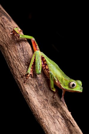 Tree frog crawling at night in amazon rain forest